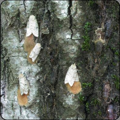 gypsy moths