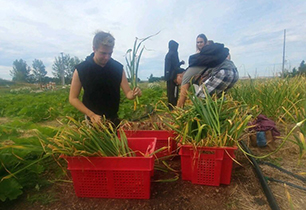 Male and female students harvesting garlic in a farm field
