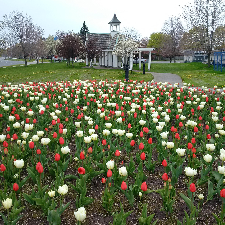 Photo of Canada 150 Tulips