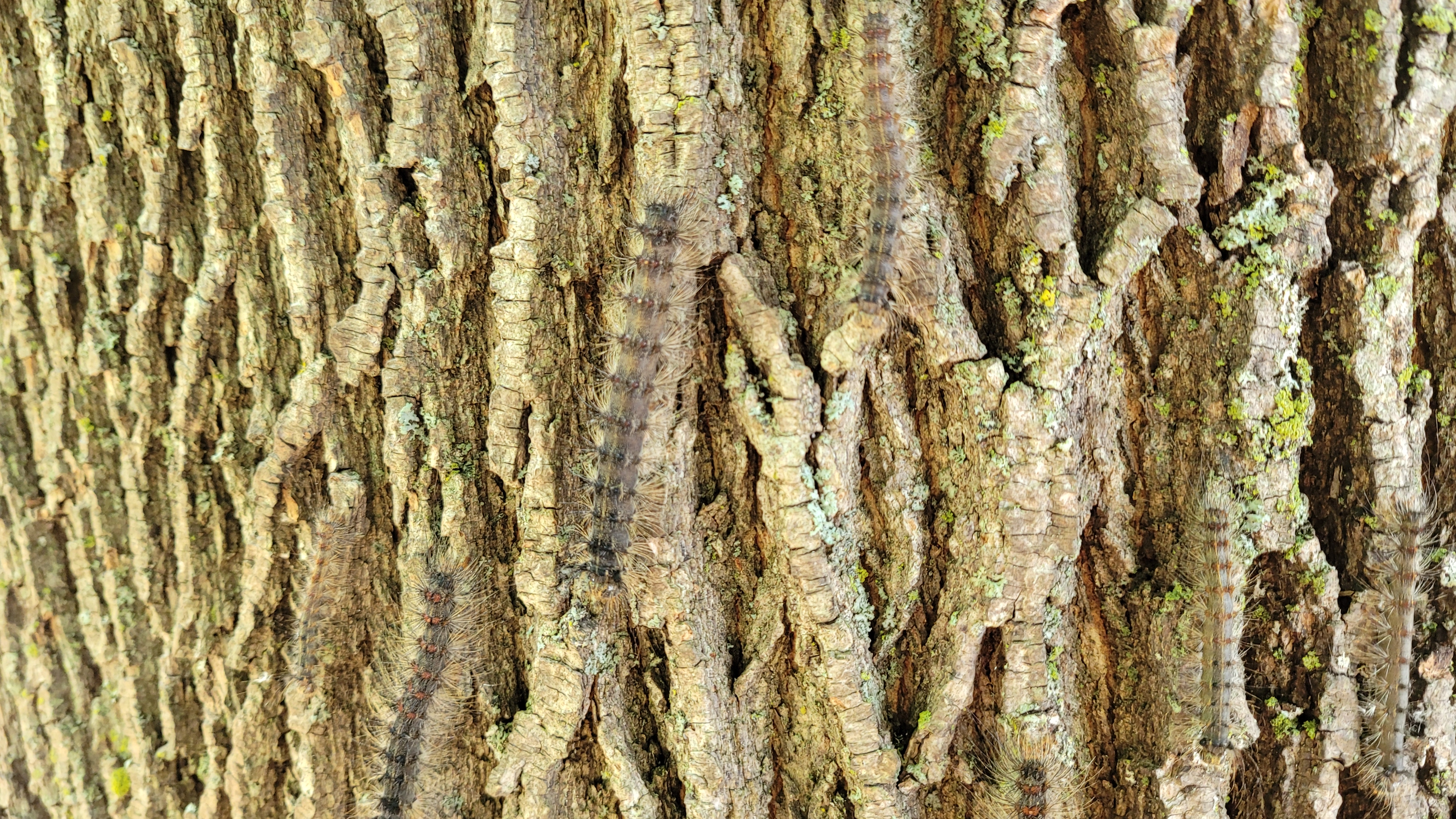 Several Gypsy Moth caterpillars make their way up a maple tree.