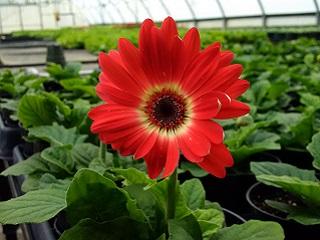 Greenhouse - Gerbera Daisy